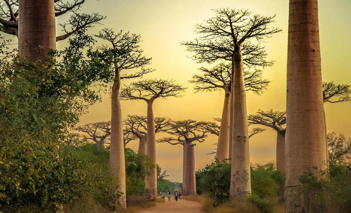 avenue-of-baobabs-madagascar-istock-547052256-by-pawopa3336-26656.jpg