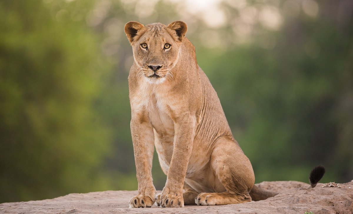 lioness-in-mana-pools-national-park-istock-599775494-by-jez-bennett-94893.jpg