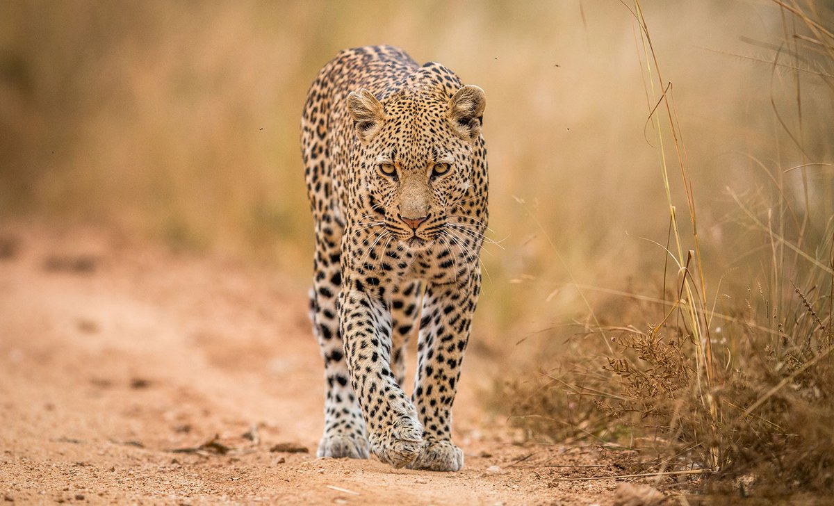 small-a-leopard-walking-towards-the-camera-in-the-kruger-national-park-south-africa-ss-09141.jpg