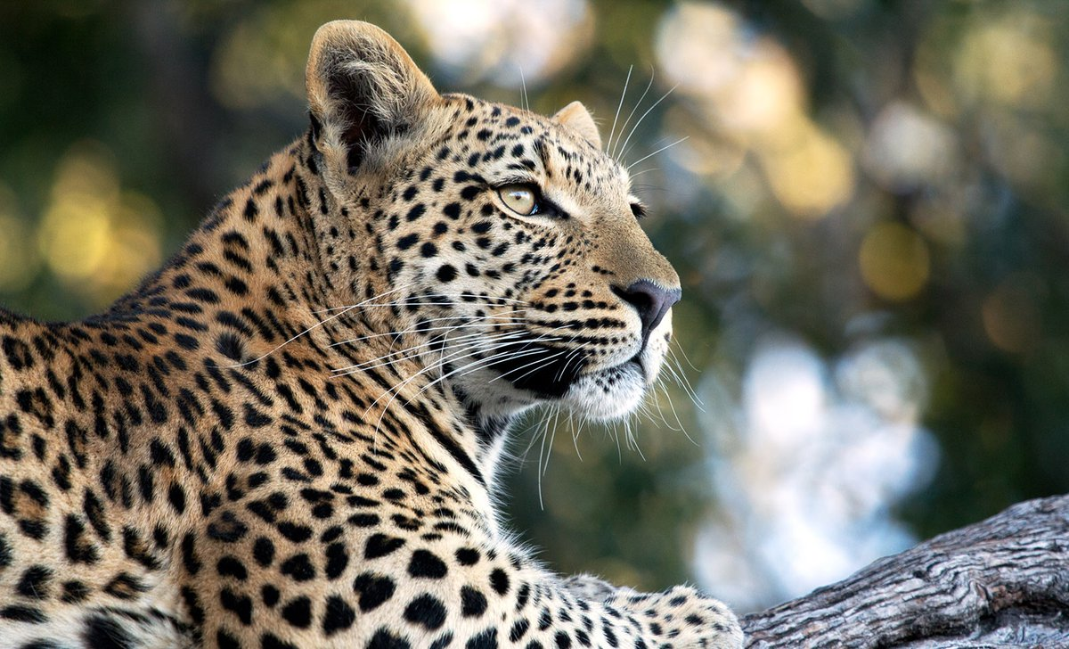 leopard-about-us-page-istock-181153580-96141.jpg