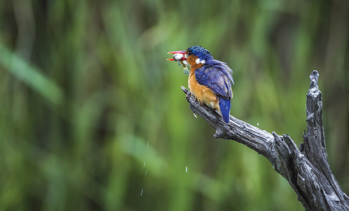Malachite king fisher on branch with fish in its mouth