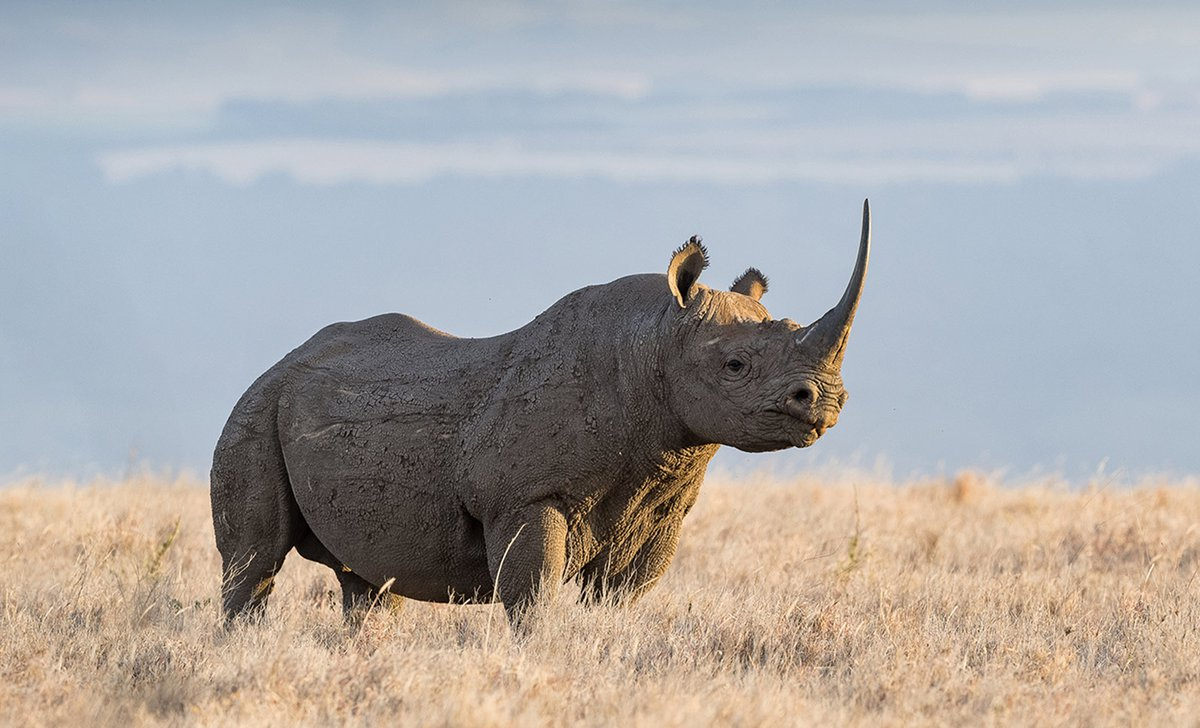 Black rhino by Dave Cox, Lewa House, Kenya