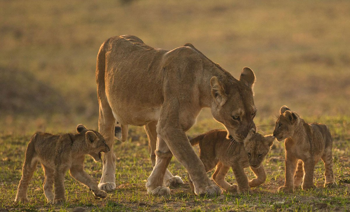 Lioness with three cubs in South Luangwa.