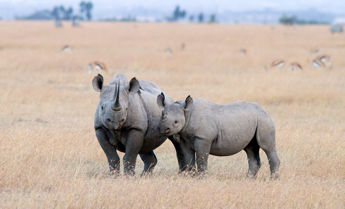 Mother and baby black Rhino.