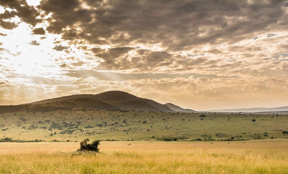 Lone lion isolated on Masai Mara plains