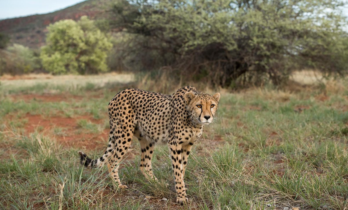 Cheetah prowling across red dirt track in Namibia