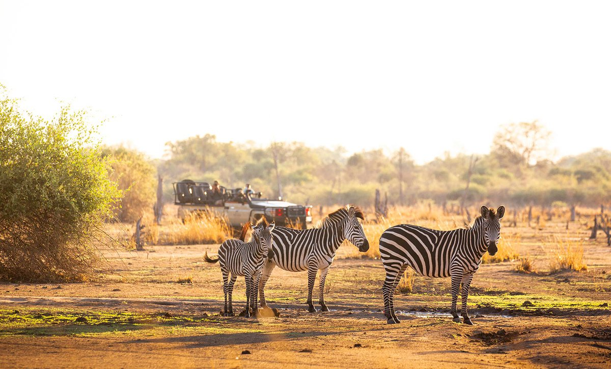 Game drive in morning light near trio of zebras in Zambia's South Luangwa