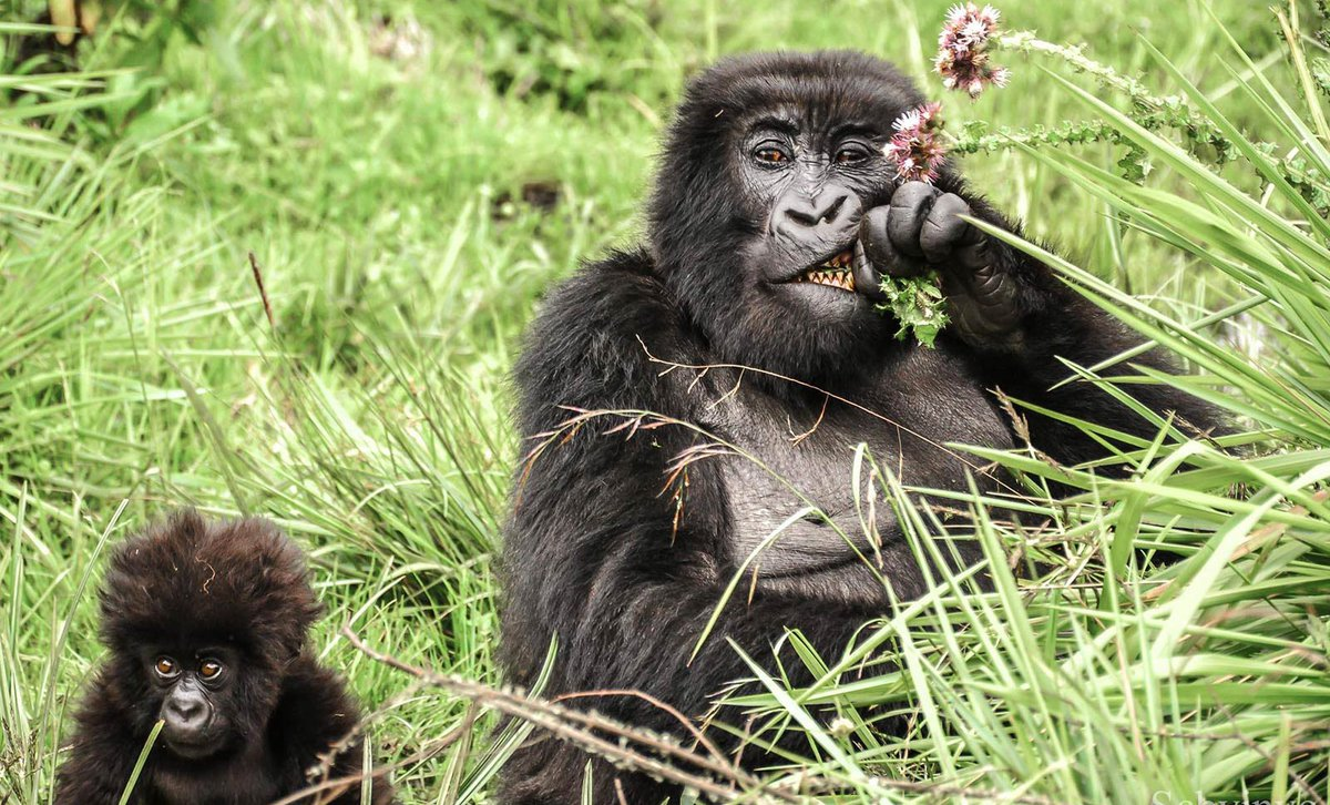 Mother gorilla and baby eating thistle plants in green thicket