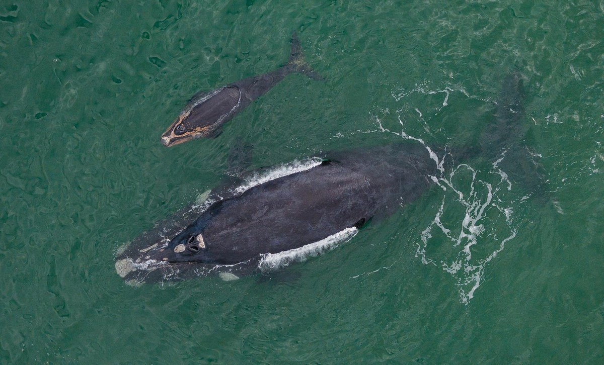 Southern right whale and calf near Cape Town, iStock 1030158124 by nattrass.