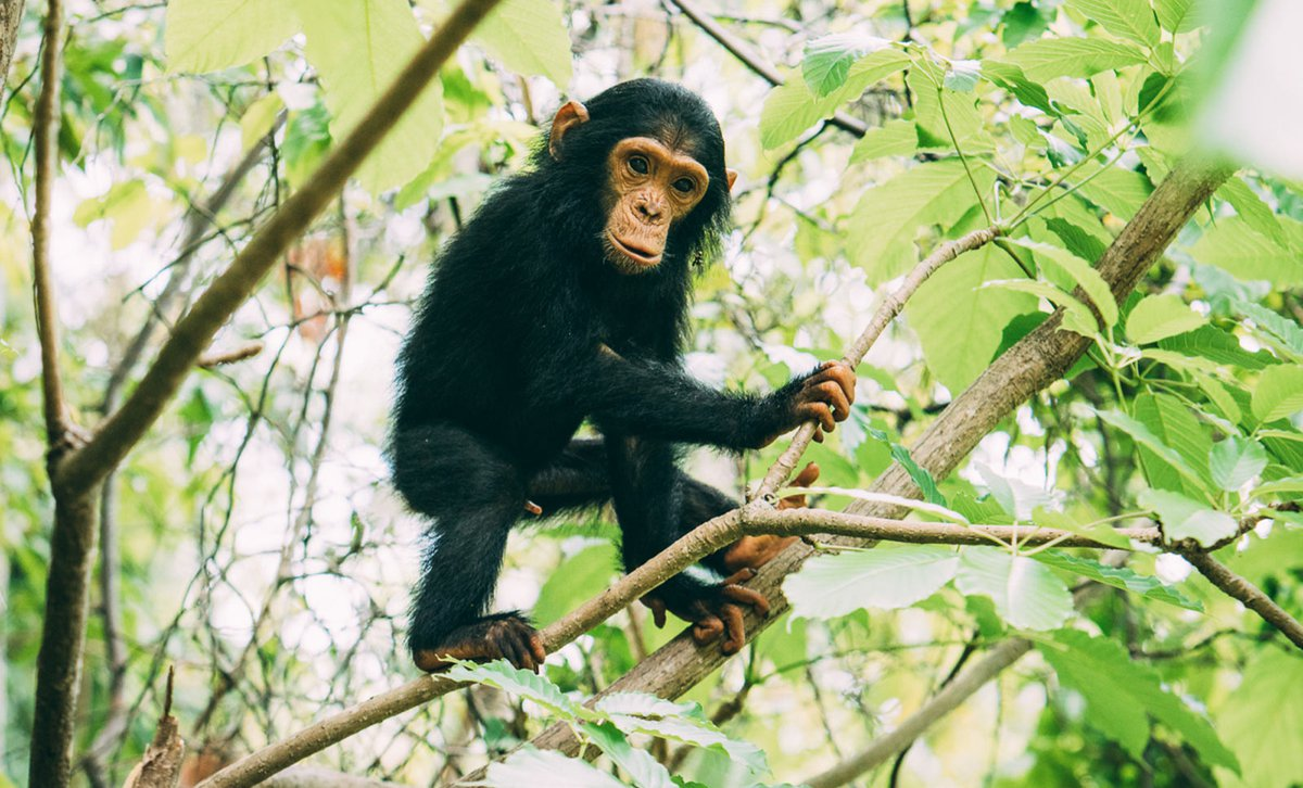Young chimpanzee in tree at Greystoke Mahale