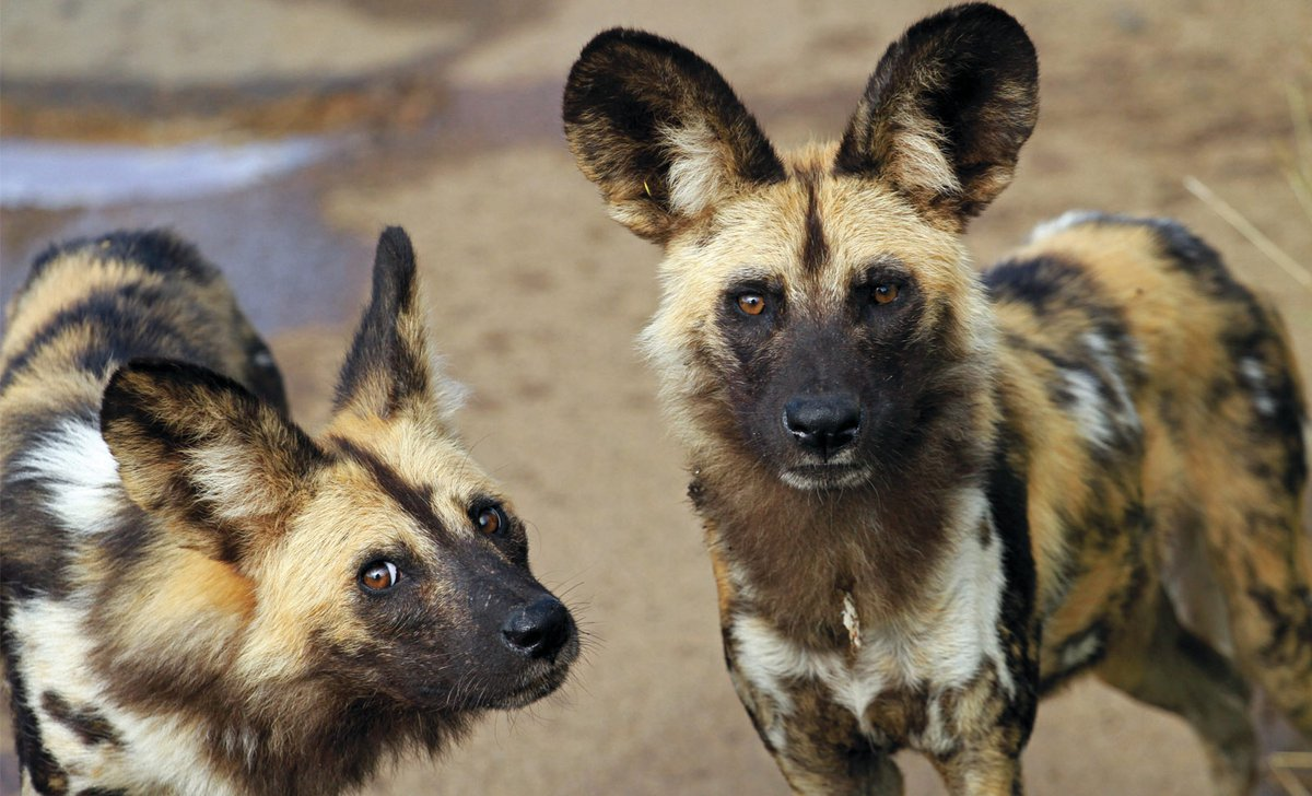 Two-wild-dogs-Pilanesberg-National-Park