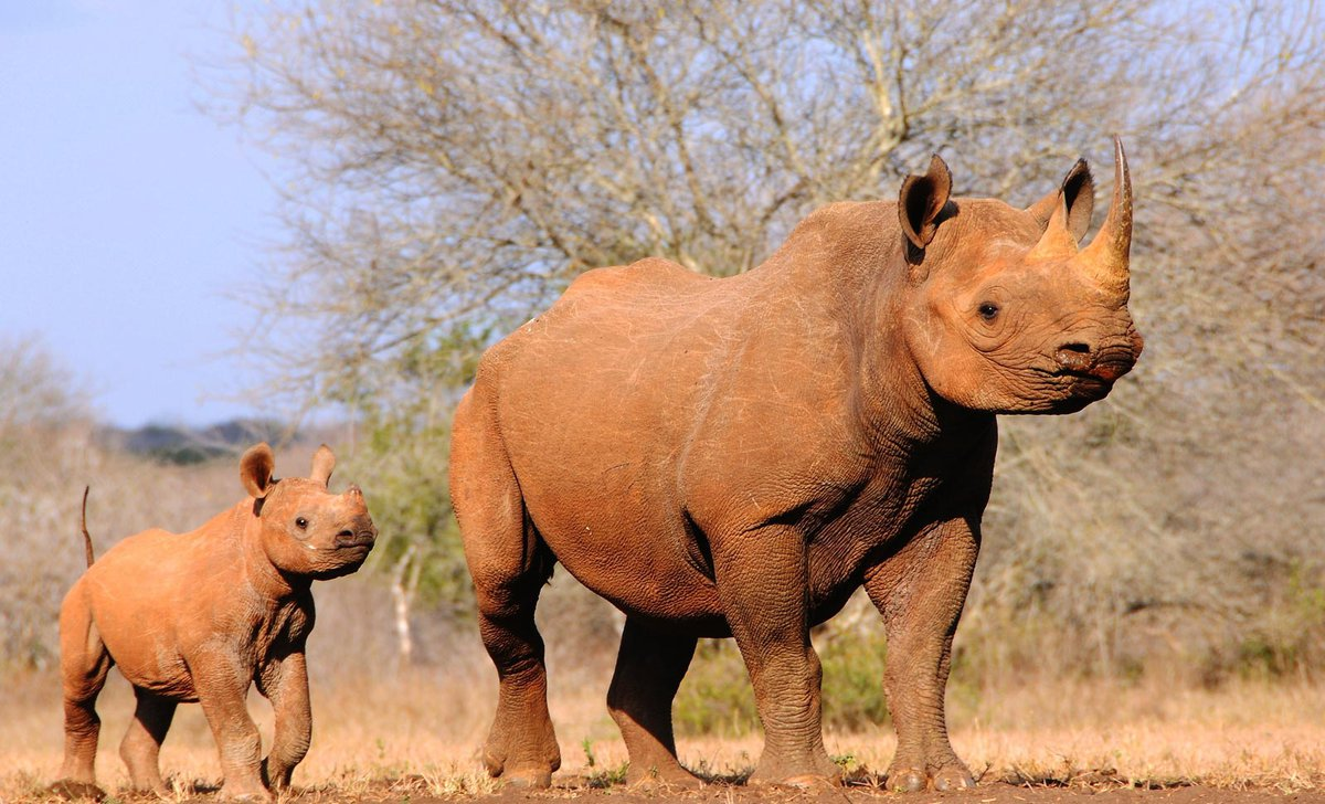 black-rhino-with-baby-south-africa