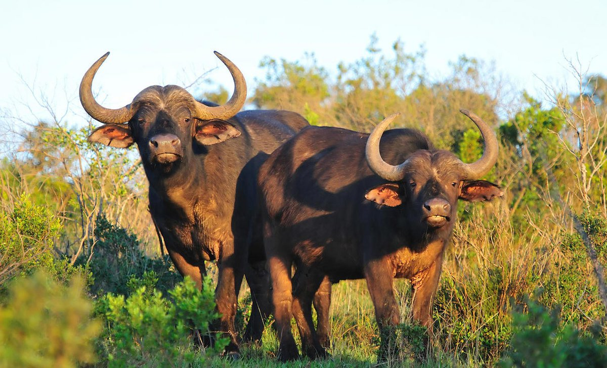 buffalo-pair-portrait-south-africa
