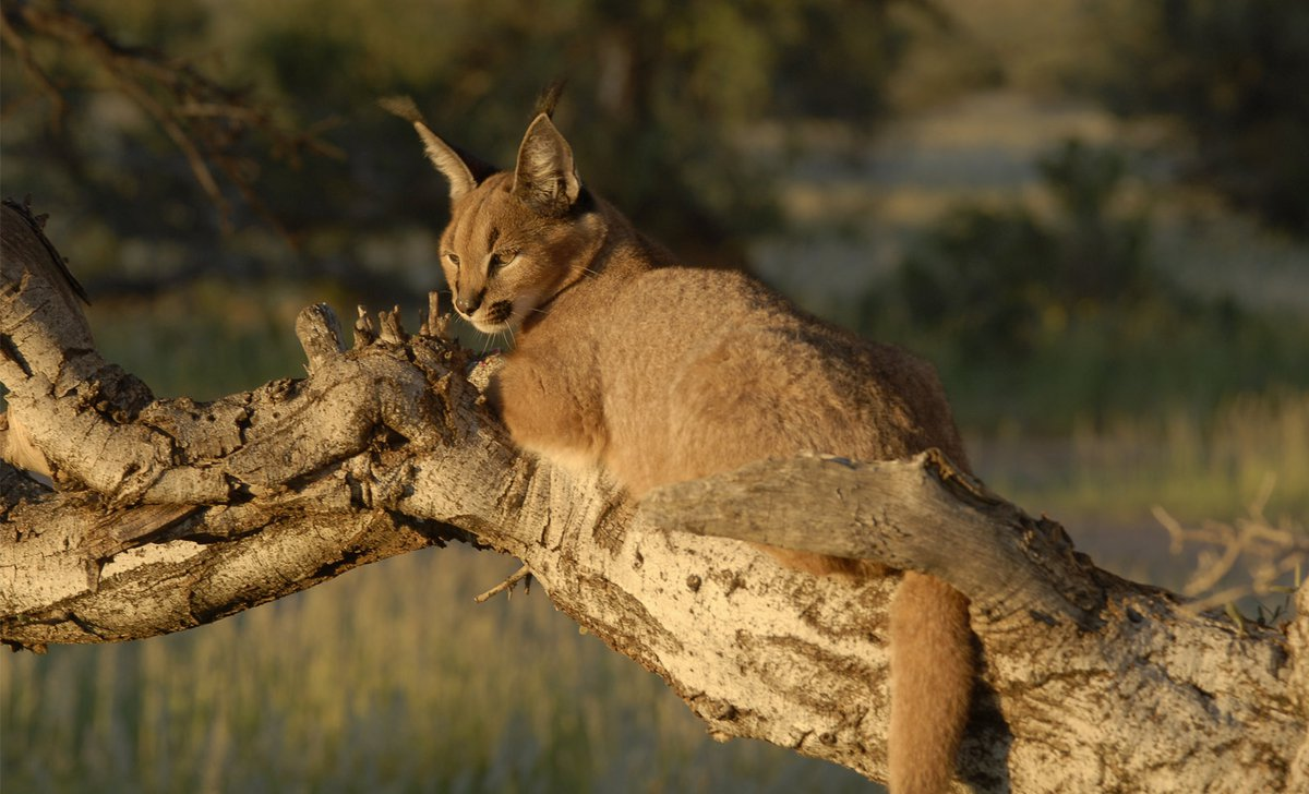 caracal-on-tree-south-africa