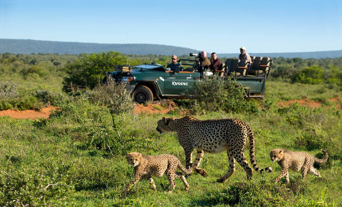 cheetah-with-cubs-game-drive-kwandwe-melton-manor-south-africa