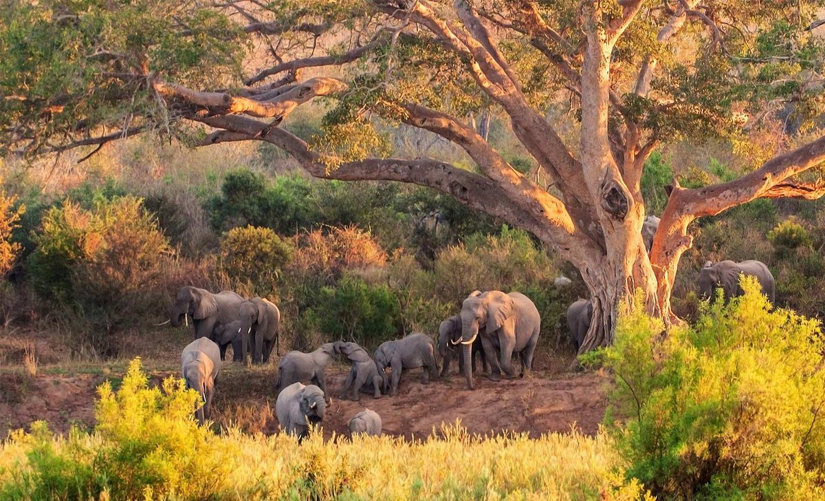 elephant herd next to tree kruger national park south africa