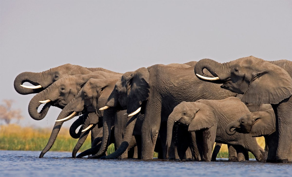 elephants-drinking-selinda-camp-great-plains