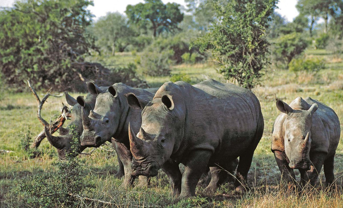 group-of-white-rhinos-south-africa