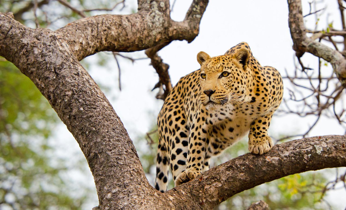 leopard-in-tree-south-africa