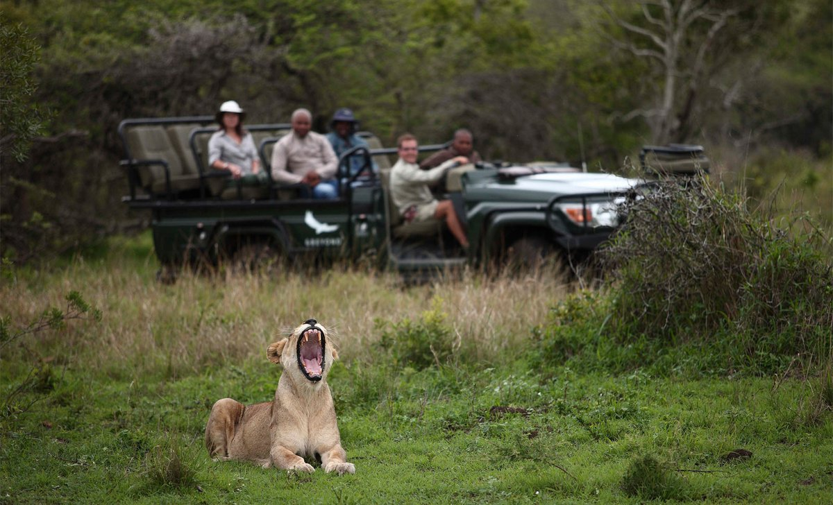 lion-yawning-game-drive-phinda-private-reserve