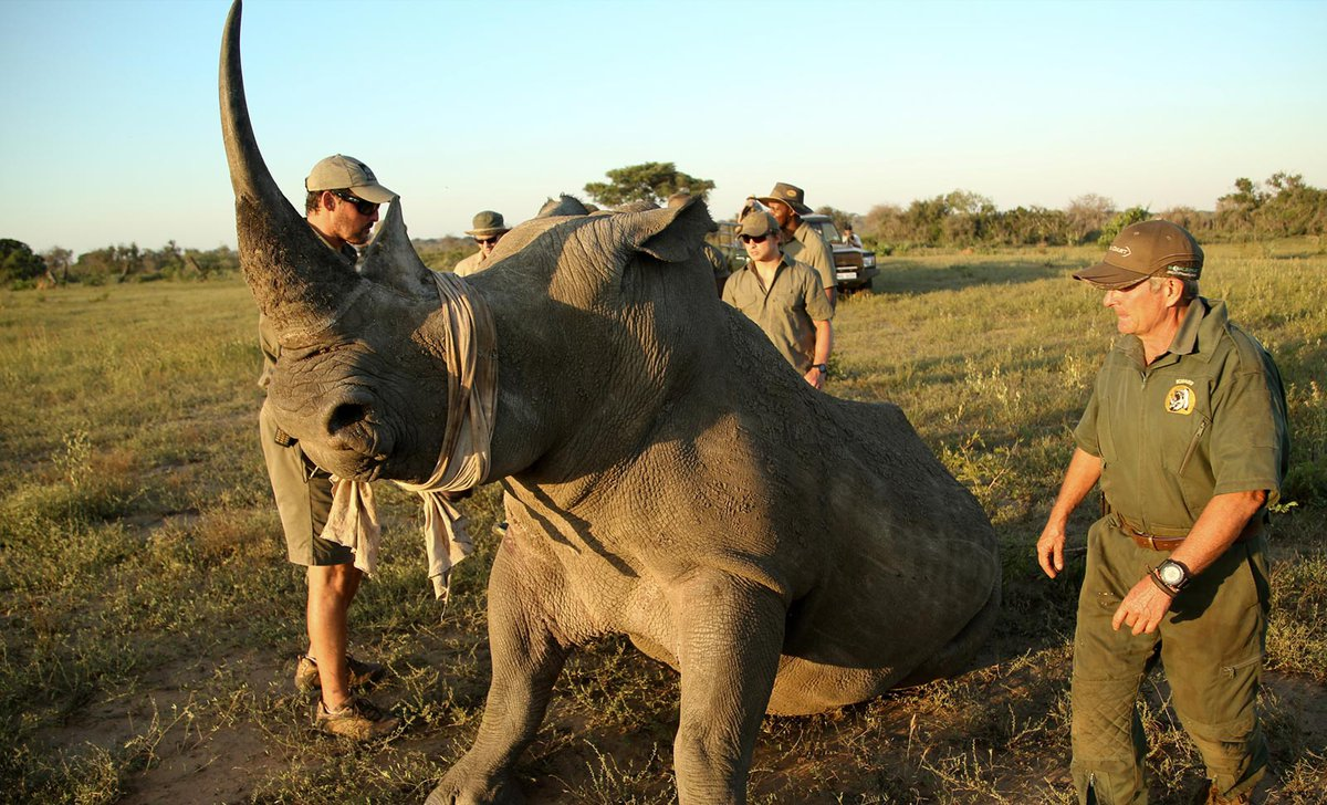 rhino-conservation-activity-andbeyond-phinda-private-game-reserve-south-africa