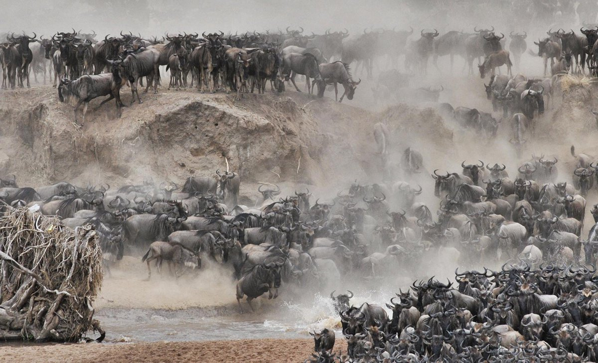 wildebeest-river crossing tanzania
