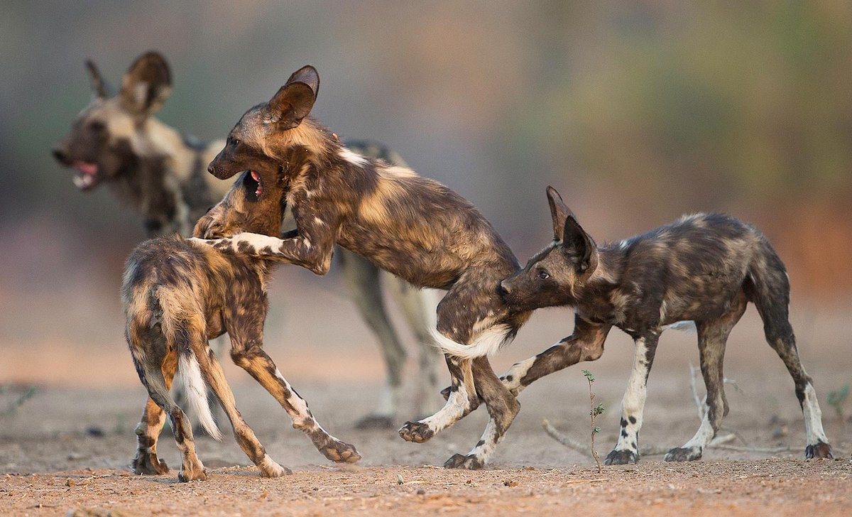 African wild dog at Mana Pools National Park, Zimbabwe, by Steve Adams iStock 952119548.