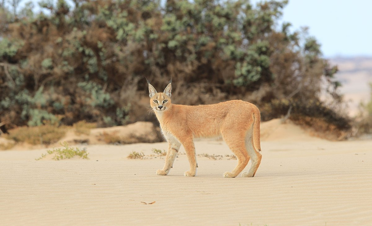 Caracal in Namibia's Skeleton coast