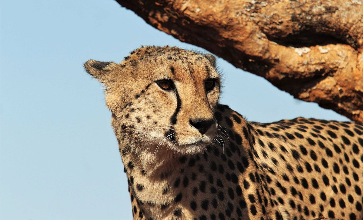 Close up of cheetah in Madikwe