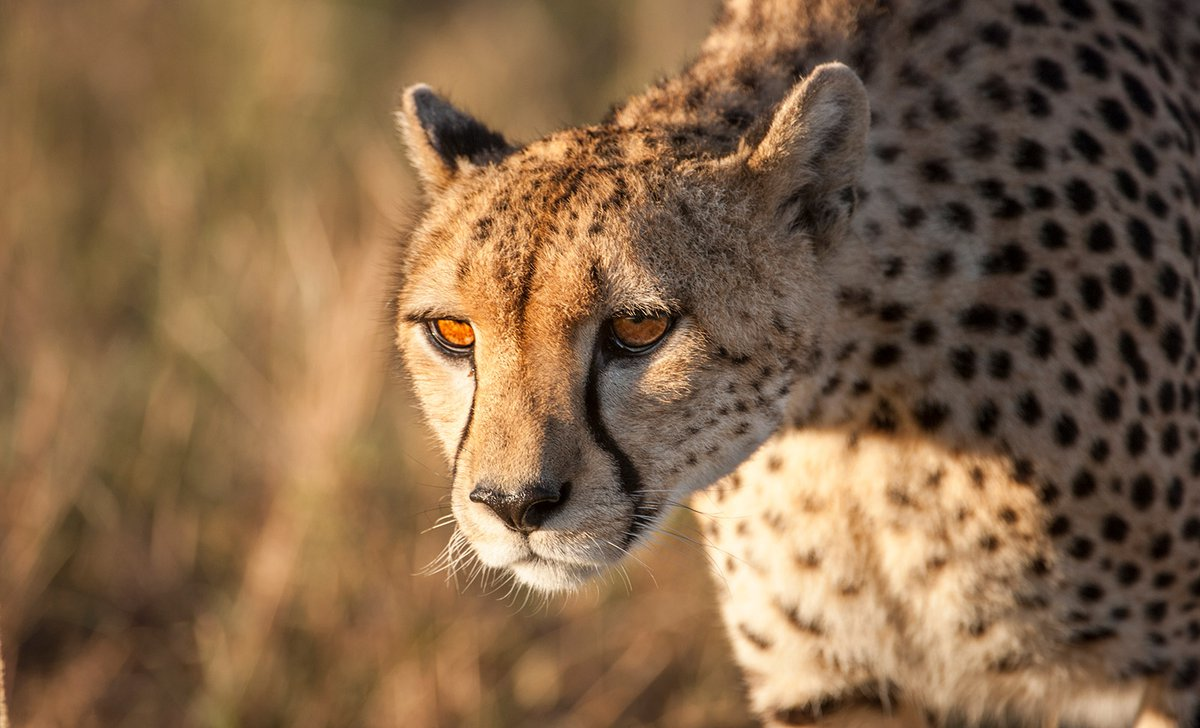 Cheetah portrait up close