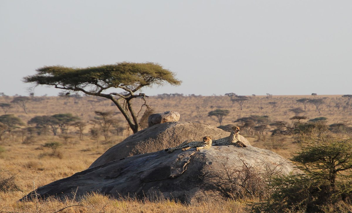 Cheetahs resting on a kopje in eastern Serengeti