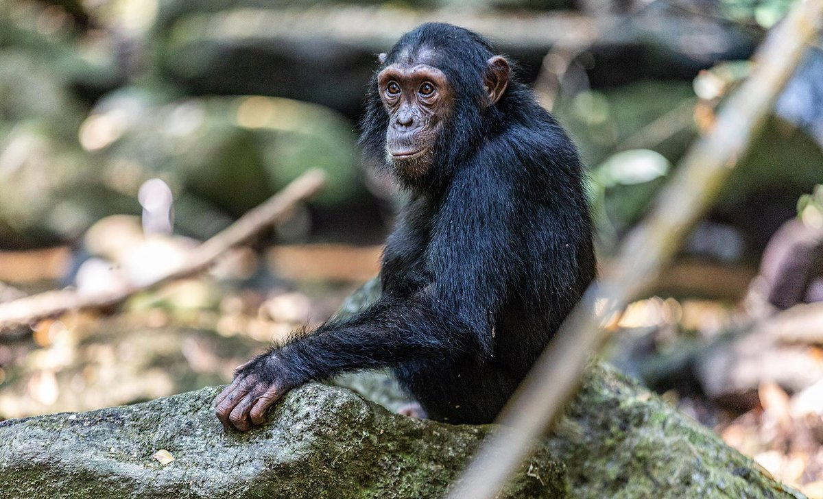 chimpanzee-mahale-mountains-national-park-99536.jpg