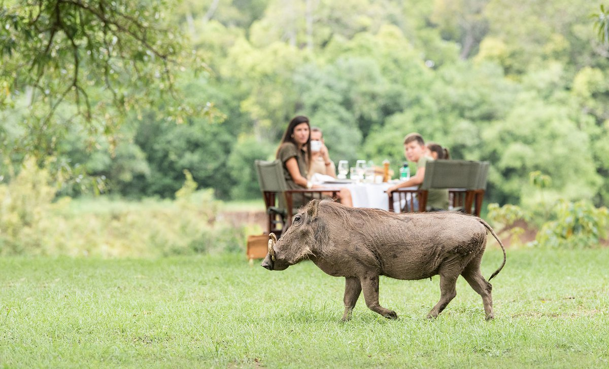 Warthog trotting past family eating outdoors