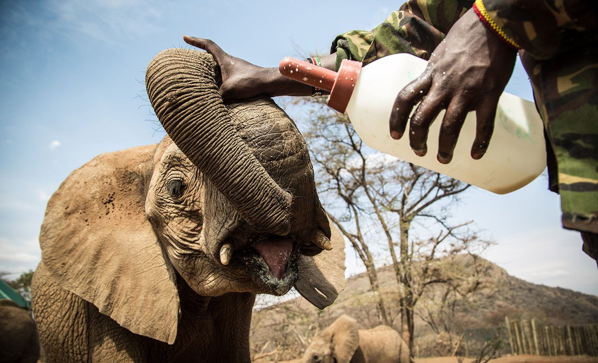 feeding-time-young-elephant-at-reteti-56429.jpg