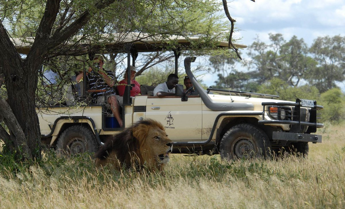 Game drive with lion, Chief's Camp, Botswana.