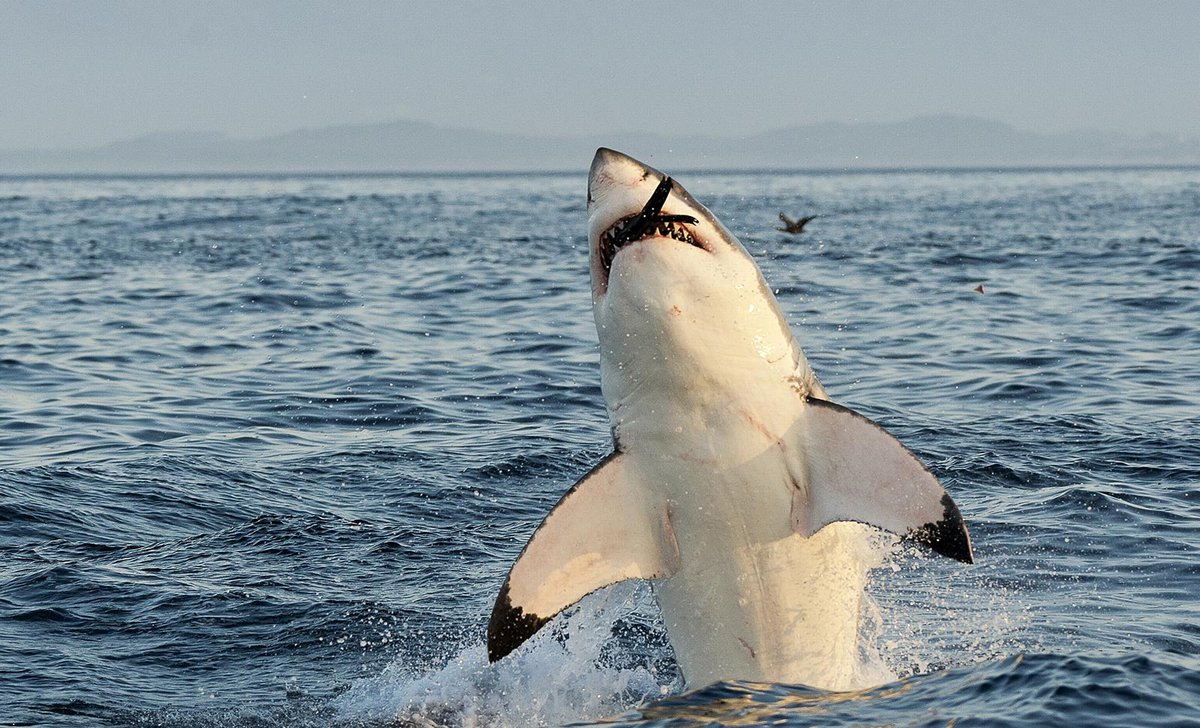 Great white shark leaping from water