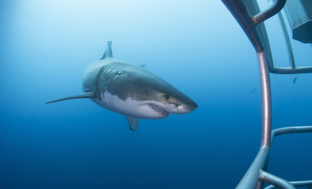 Great white shark on cage dive