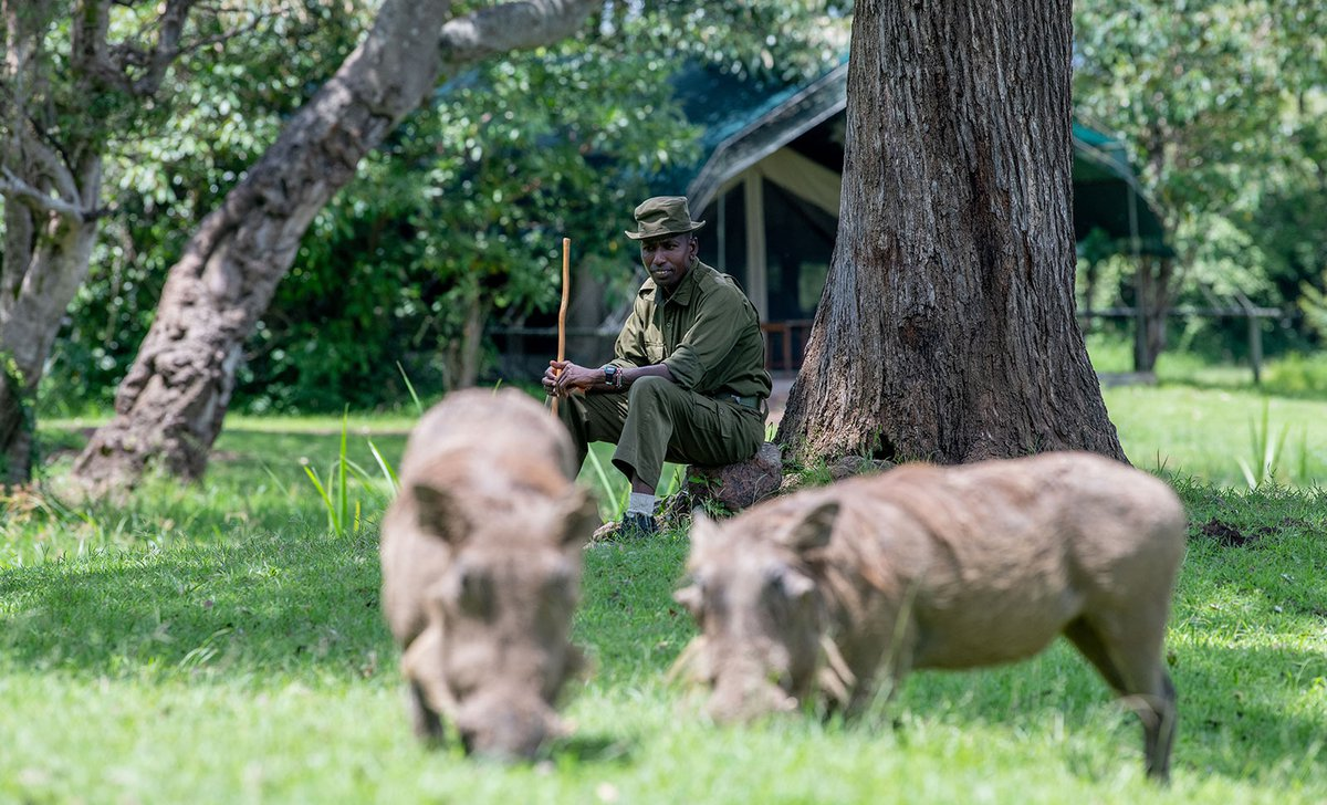 Guide watching warthogs in camp