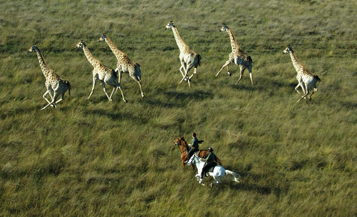 Horse ride in Okavango Delta alongside herd of giraffe