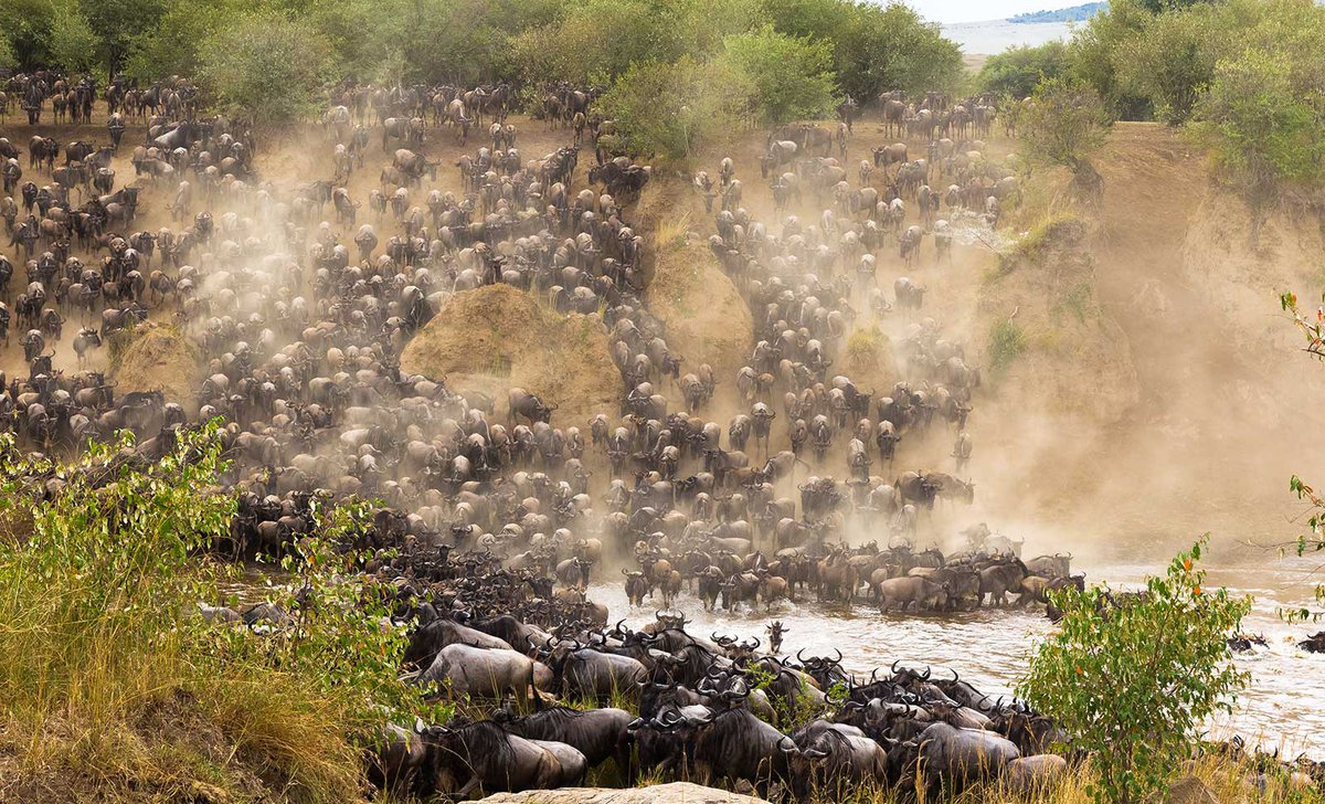Wildebeest migration river crossing in Masai Mara