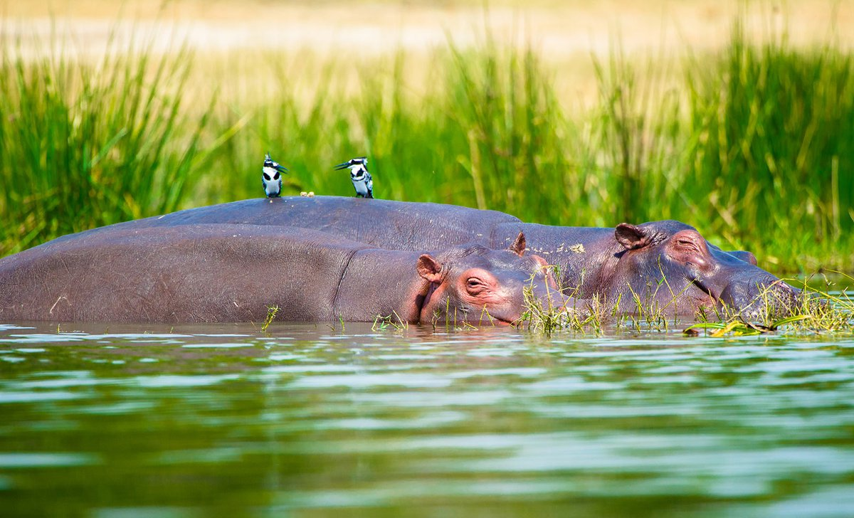 Two piebald kingfishers resting on back of hippos in Uganda