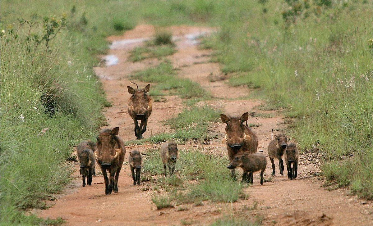 Leobo's Waterberg wildlife warthog family trotting down road