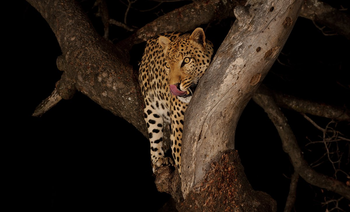 Night-time safari leopard in tree
