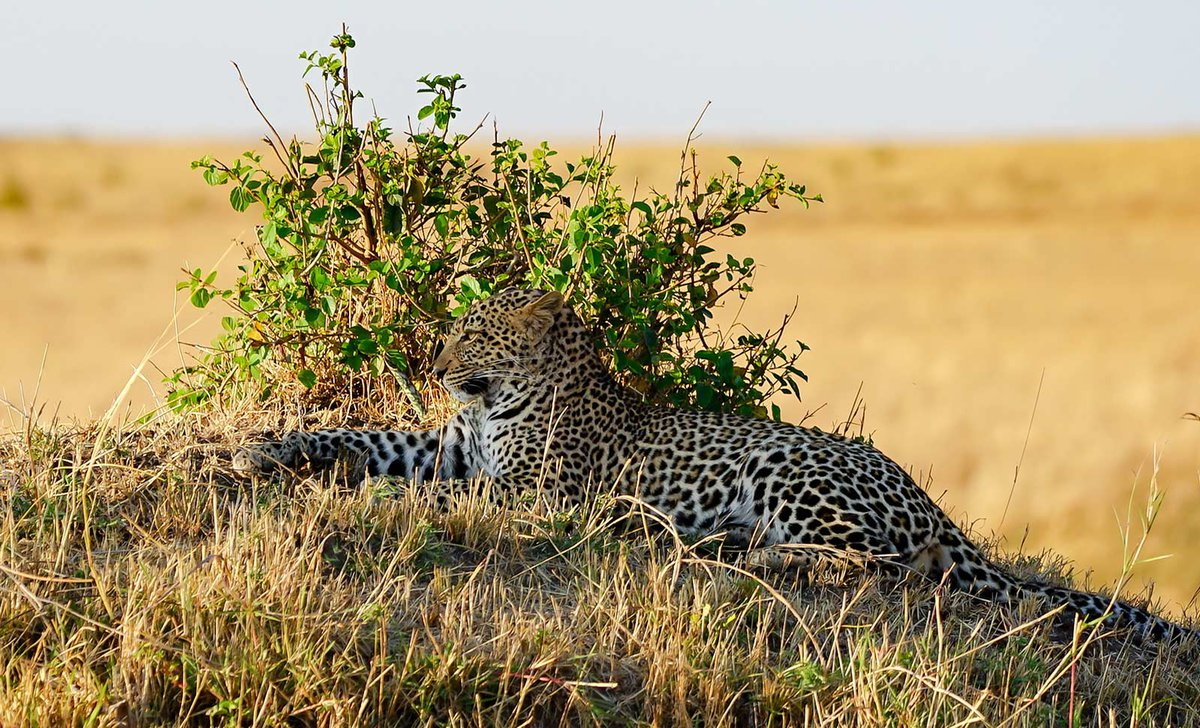 Leopard hiding to stalk prey in Masai Mara