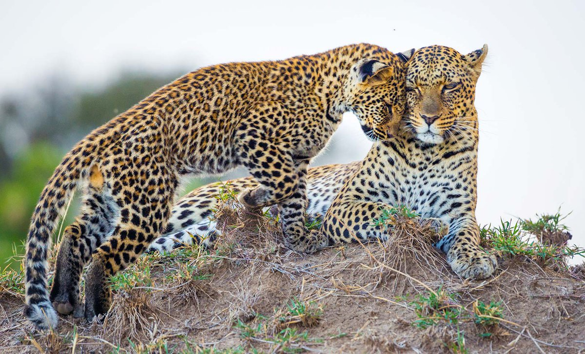 Leopard and cub in Masai Mara