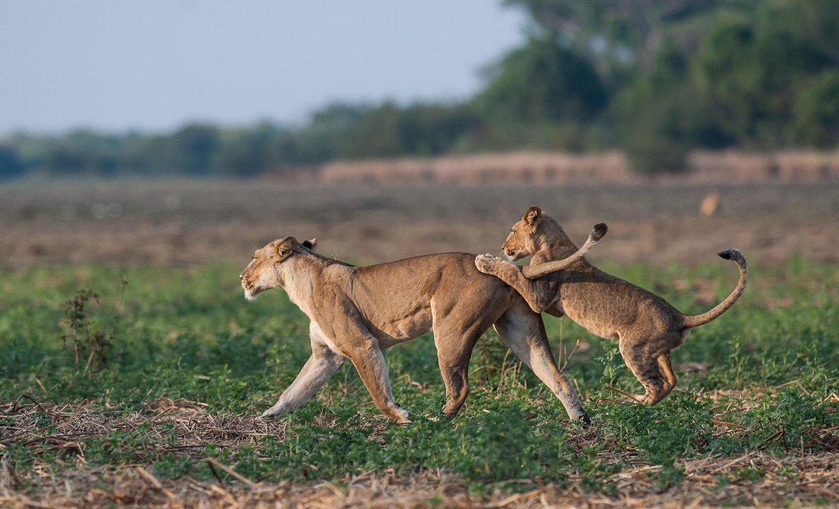 Lion cub playing with mother in Kafue