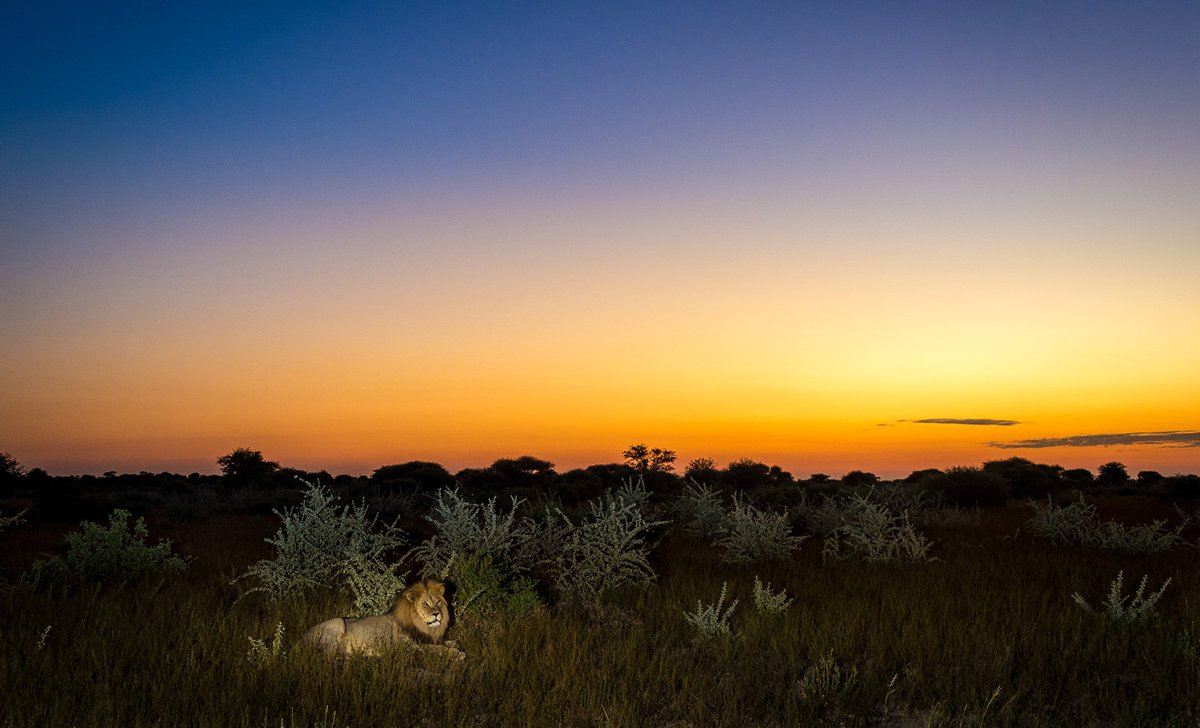 night-time safari lion laying down with sunset behind him