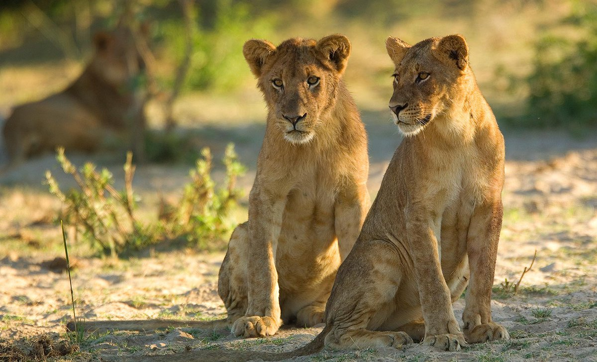 young pair of lions