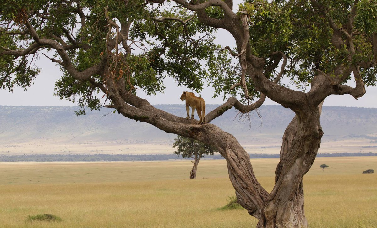 Lioness in tree braches looking over maasai mara