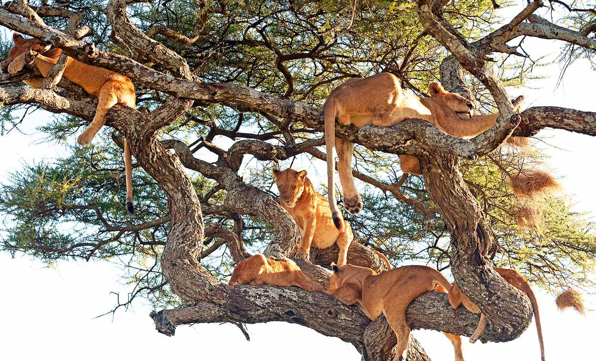 Lions relaxing in tree